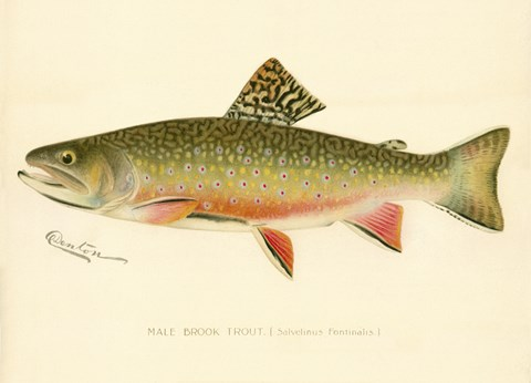 Framed Male Brook Trout Print