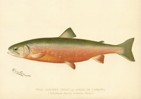 Framed Male Sunapee Trout Print