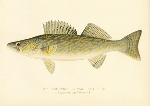 Framed Pike Perch Print