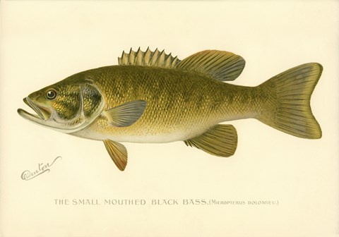 Framed Small Mouthed Black Bass Print