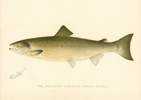 Framed Atlantic Salmon Print