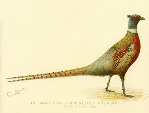 Framed Mongolian or Ring-Necked Pheasant Print