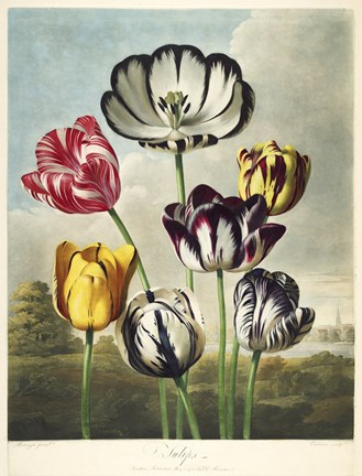 Framed Tulips from the The Temple of Flora Print