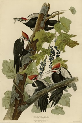 Framed Pileated Woodpecker Print