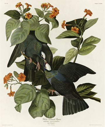 Framed White Crowned Pigeon Print
