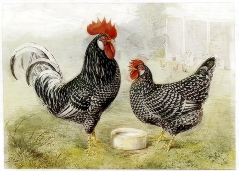 Framed Roosters Print