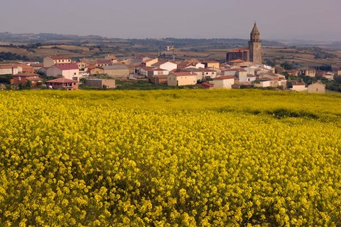 Framed Yellow mustard flowers, Elvillar Village, La Rioja, Spain Print