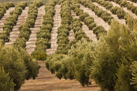 Framed Olive Groves, Jaen, Spain Print