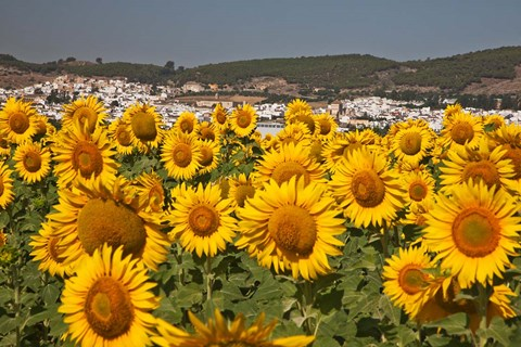 Framed Spain, Andalusia, Cadiz Province, Bornos Sunflower Fields Print