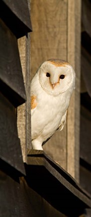 Framed England, Barn Owl looking out from Barn Print