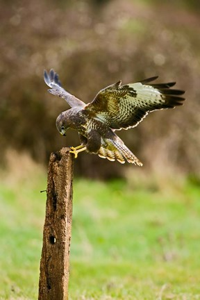 Framed UK, Common Buzzard bird on wooden post Print