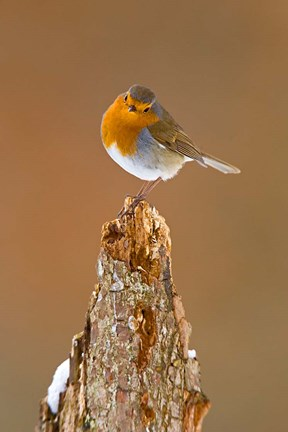 Framed UK, Robin bird on tree stump, Winter Print