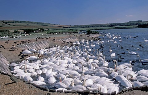Framed Swannery of Mute Swans, Abbotsbury, Dorset, England Print