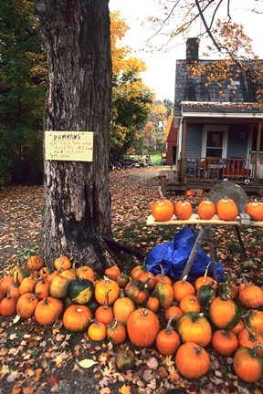 Framed Pumpkins For Sale in New England Print