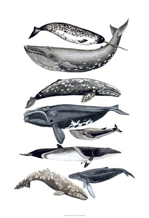 Framed Whale Display II Print