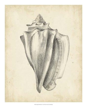 Framed Antique Shell Study IV Print