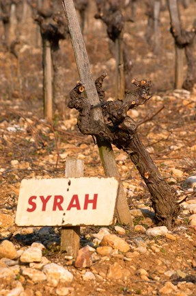Framed Syrah Vine and Sign at La Truffe de Ventoux Truffle Farm Print
