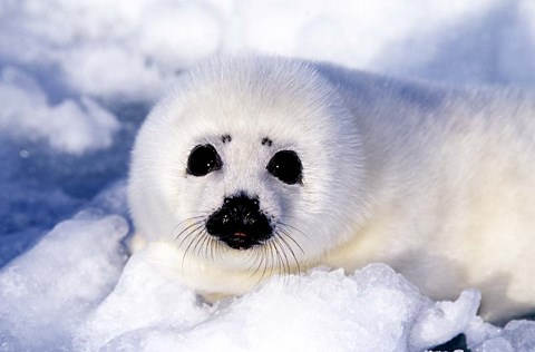 Framed Harp Seal Pup at Gulf of St Lawrence Print