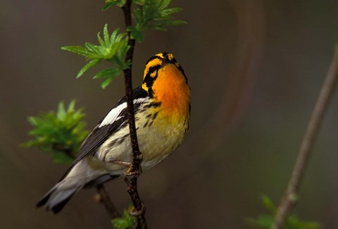 Framed Male Blackburnian Warbler Print