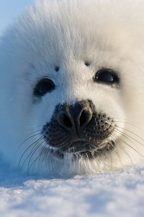 Framed Harp Seal Pup, Canada Print