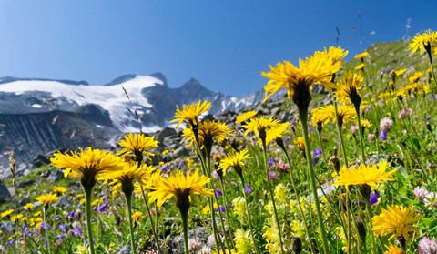Framed Rough Hawkbit, Zillertal Alps Print