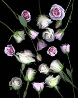 Pink & White Roses 5  Fine Art Print