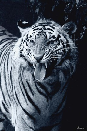 Framed White Tiger 2 Print
