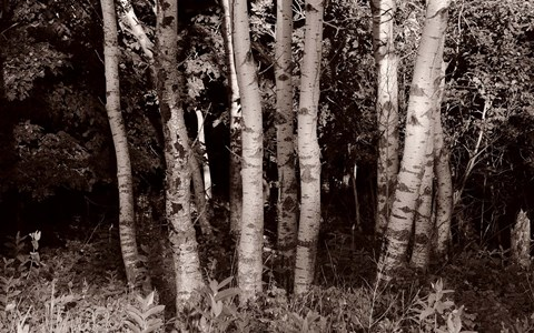 Framed Birch In Woods Black And White Print