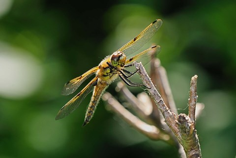 Framed Orange Dragonfly On White Branch I Print