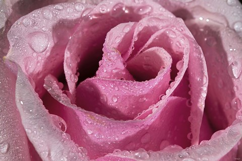 Framed Rose Pink And Raindrops Print