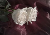 White Rose Duo  Fine Art Print