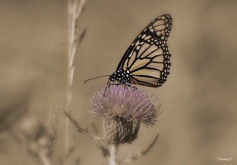 Framed Black And White Butterfly On Flower Print