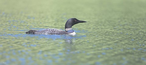 Framed Common Loon 4 Print