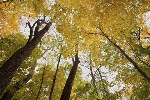 Framed Yellow Fall Trees From Below III Print