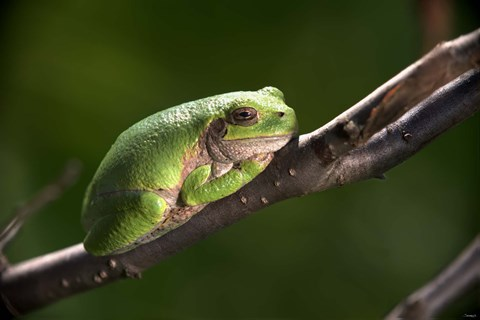 Framed Green Frog On Tree Branch Print