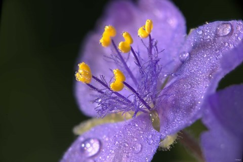 Framed Purple And Yellow Flower After Rain I Print