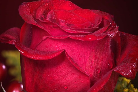Framed Red Rose And Dew Closeup Print