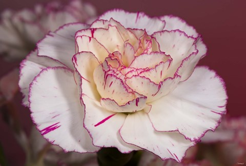 Framed Pink And White Carnation Print
