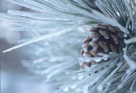 Framed Frosted Pine Cone And Pine Needles IV Print