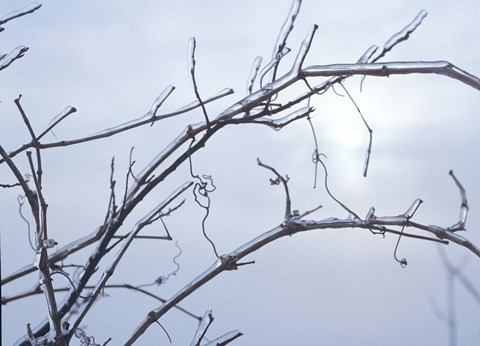 Framed Blue Sky And Frosted Branch II Print