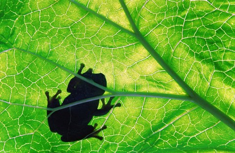 Framed Frog Silhouette On Leaf Print