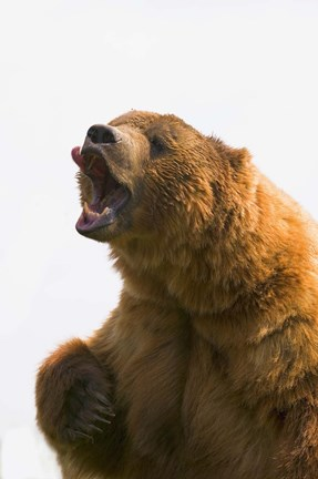 Framed Bear Yawn II Print