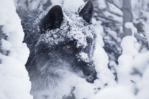 Framed Gray Wolf Under Winter Snow Print