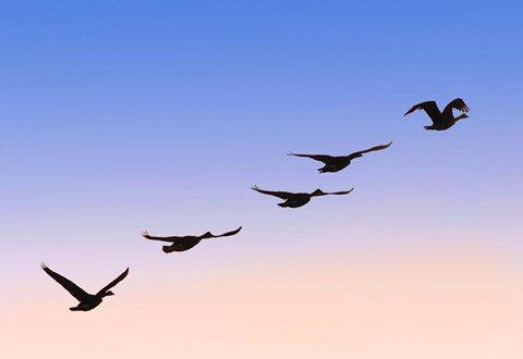 Framed Birds In Flight Silhouette Print