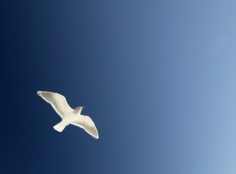 Framed White Dove Flying The Blue Sky Print