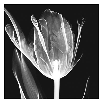 Framed Lusty Tulip 2 Print