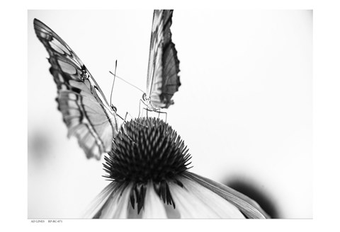 Framed Black And White Butterflies Print