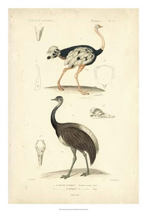 Framed Antique Ostrich Study Print