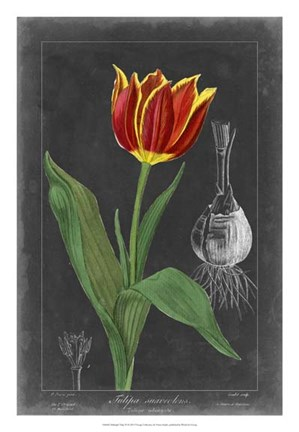 Framed Midnight Tulip IV Print