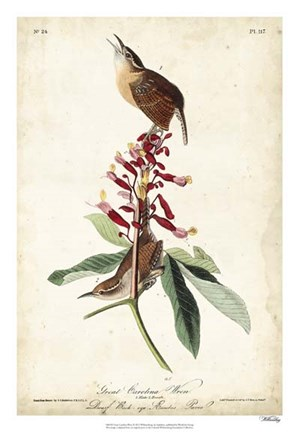 Framed Great Carolina Wren Print